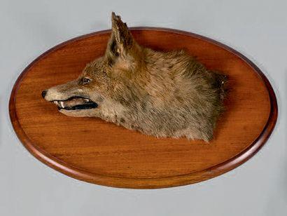 Tête de renard naturalisée sur un support...