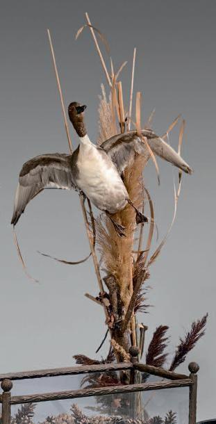 Canard à l'envol naturalisé dans des roseaux. Hauteur totale: 115 cm