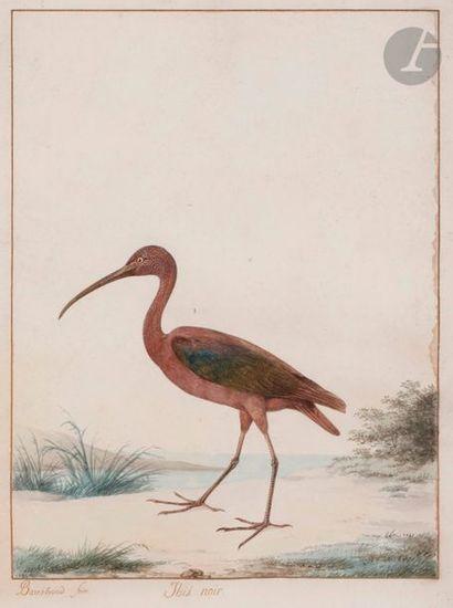 Jacques BARRABAND (1767-1809) Ibis noir Aquarelle....