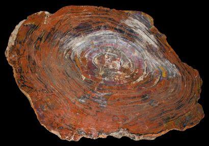 Grande plaque de bois fossilisé dit bois...