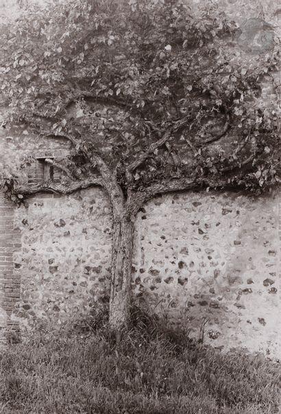 *Gladys L'arbre aplati. Normandie, mai 1979....