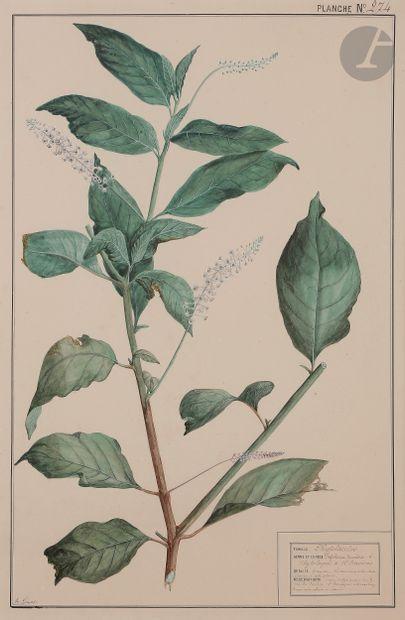 Th. GUYOT (XIXe siècle)  Phytolaccées - Polygonées...