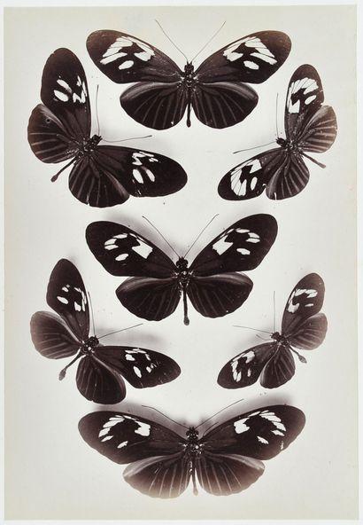 Photographe non identifié Étude de papillons,...