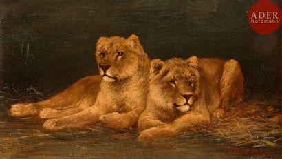 Tom HEYWOOD (XIXe - XXe siècle) Deux lionnes,...