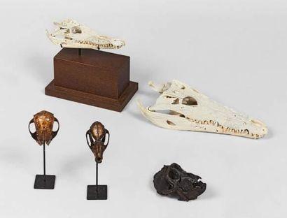 Crâne de crocodile du Nil (CROCODILUS NILOTICUS) sur socle en chêne teinté. Avec...