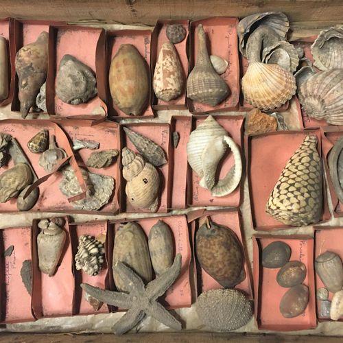 Un lot comprenant environ 40 spécimens de coquillages marins exotiques et divers…