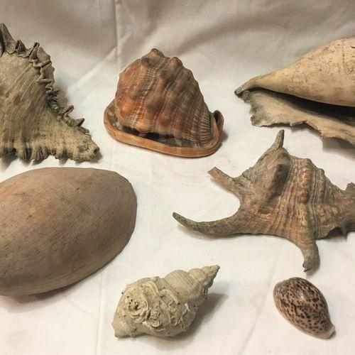 Un lot comprenant 7 spécimens de coquillages marins exotiques dont :  Murex spp …