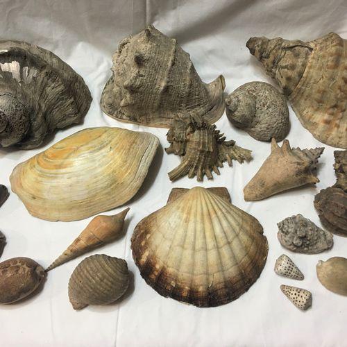 Un lot comprenant 21 spécimens de coquillages marins exotiques dont :  Triton sp…