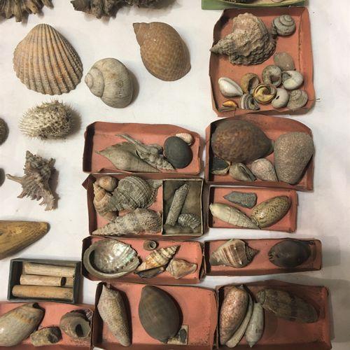 Un lot comprenant de plus de 40 spécimens de coquillages marins exotiques en pet…
