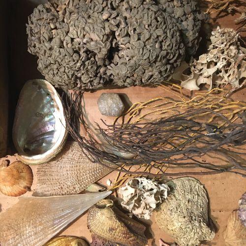Un lot comprenant une vingtaine de spécimens de coquillages marins exotiques et …
