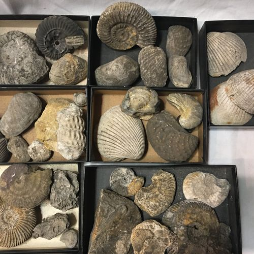 Un lot de fossiles de plus de 30 spécimens dont : Ammonites, valves coquillages