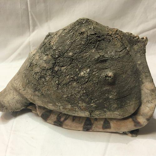 Grand casque (Cassis cornuta) avec partie atrophiée  Espèce non réglementée au t…