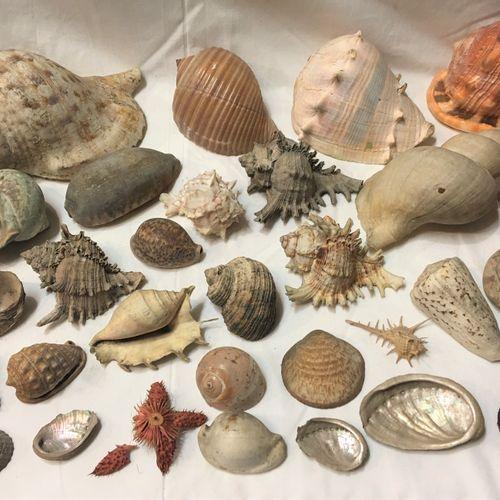 Un lot comprenant plus de 20 spécimens de coquillages marins exotiques dont : Tr…