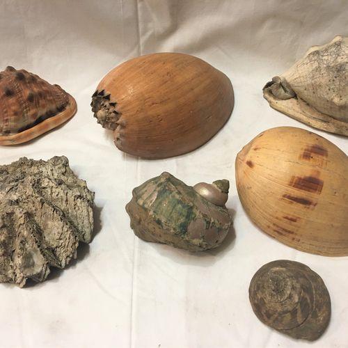 Un lot comprenant 7 spécimens de coquillages marins exotiques dont : Turbo spp, …