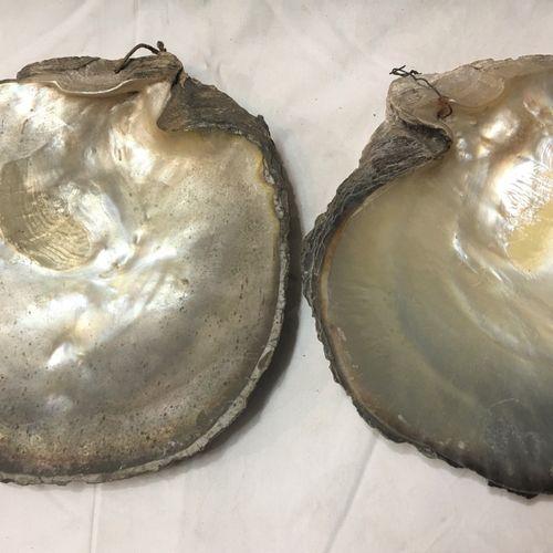 2 valves brutes d'Huître perlière (Pinctada spp)  Espèce non réglementée au titr…