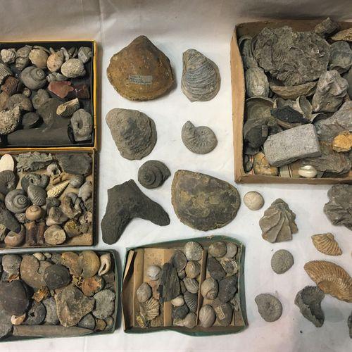 Un lot de fossiles de plus de 30 spécimens dont :  Morceaux de bélemnite, rhynch…