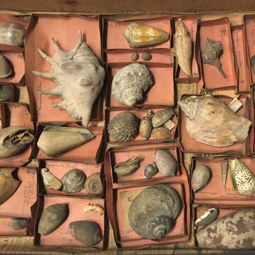 Un lot comprenant plus de 40 spécimens de coquillages marins exotiques dont :  L…