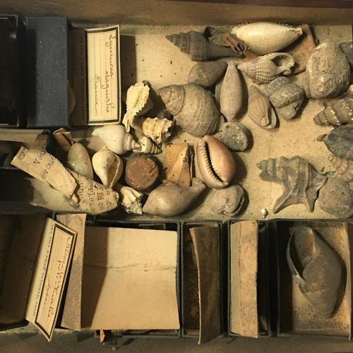 Un lot comprenant de plus de 20 spécimens de coquillages marins exotiques dont :…