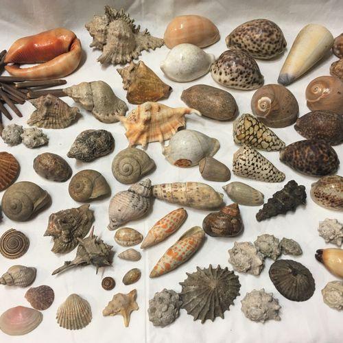 Un lot comprenant de plus de 30 spécimens de coquillages marins exotiques dont :…