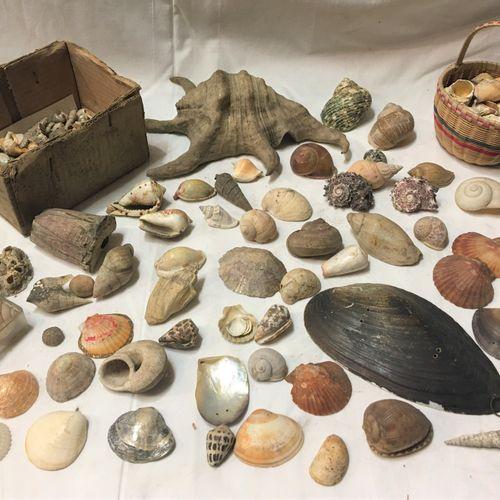 Un lot comprenant de plus de 40 spécimens de coquillages marins exotiques dont :…
