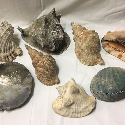 Un lot comprenant 8 spécimens de coquillages marins exotiques dont :  Pinctada s…