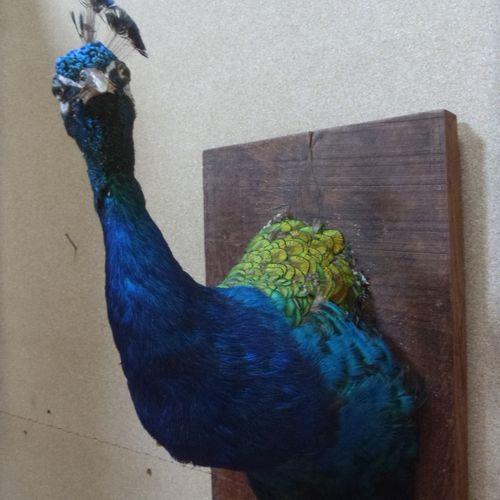 Paon bleu (Pavo cristatus) (III/C) : tête en buste naturalisée sur support en bo…