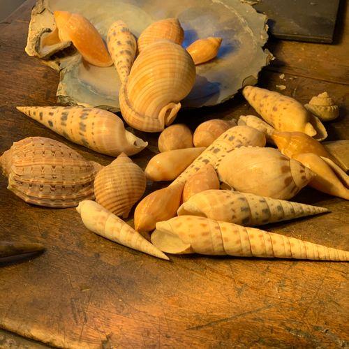Ensemble de coquillages marins dont Pinctada spp, Cassis spp, Terebra spp,Harpa …