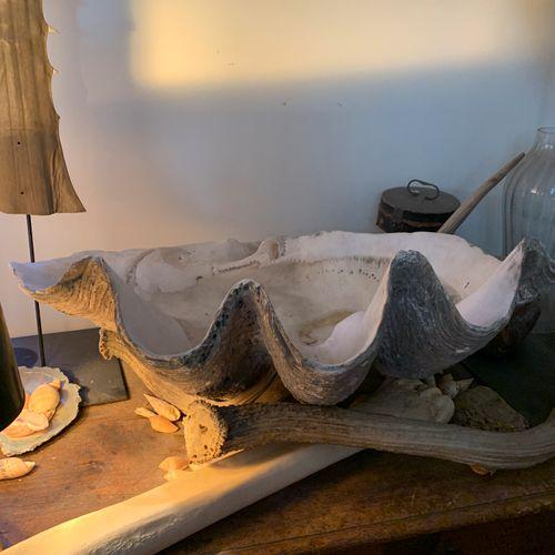 Bénitier géant (Tridacna gigas) (II/B) : valve brute (éclats)  Largeur : 75 cm  …