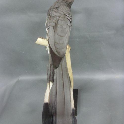 Touraco à ventre blanc (Crinifer leucogaster) (NR) bagué : beau spécimen présent…
