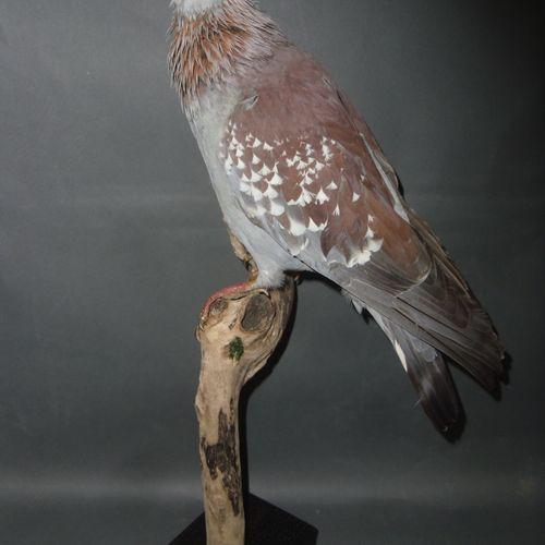 Pigeon de Guinée ou Pigeon roussard (Columba guinea) (NR) : spécimen naturalisé …