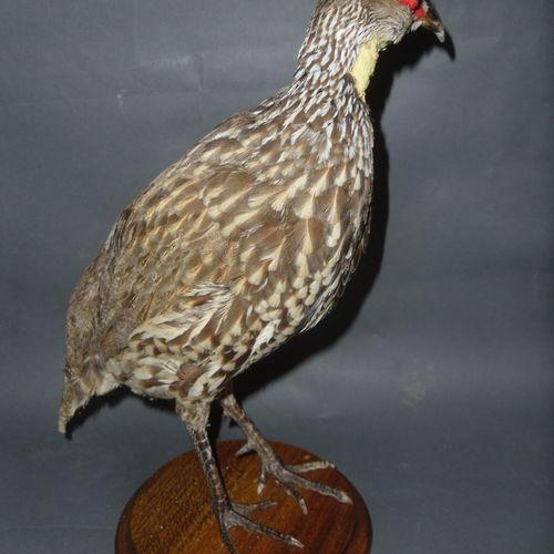 Francolin à cou jaune (Pternistis leucoscepus) (NR) : spécimen naturalisé sur so…