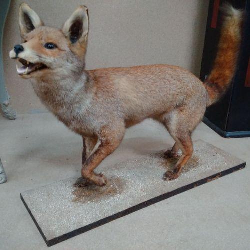 Renard roux (Vulpes vulpes) (CH) : spécimen ancien naturalisé gueule ouverte sur…