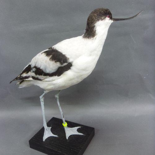 Avocette élégante (Recurvirostra avosetta) (CE) bagué : spécimen présenté sur so…