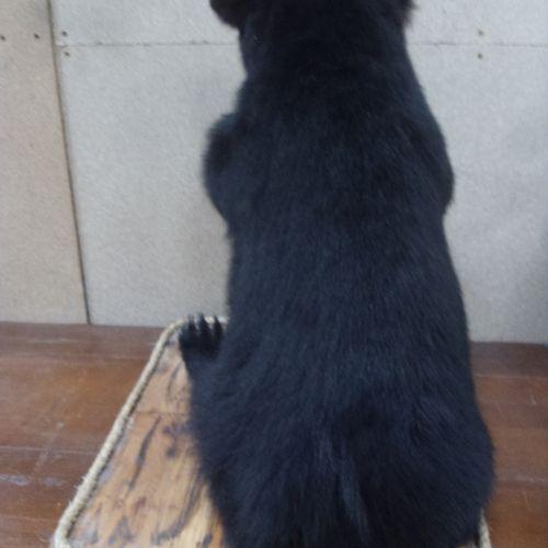 Ours noir (Ursus americanus) (II/B) : beau spécimen juvénile naturalisé tenant u…
