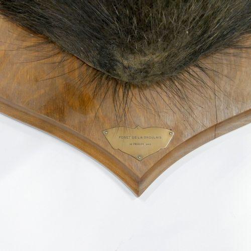 Tête de sanglier (Sus scrofa) naturalisée Spécimen non réglementé Dim. : 50 x …