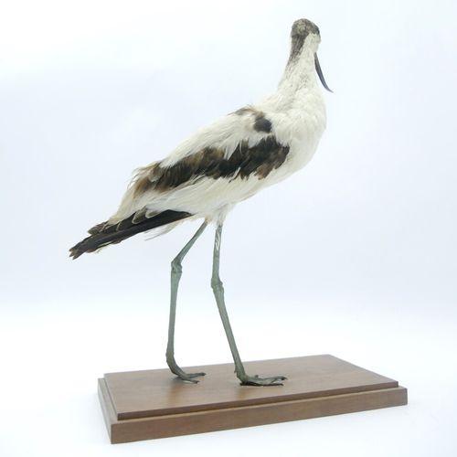 Avocette (Recurvirostra avosetta) naturalisée, sur socle Spécimen antérieur au …