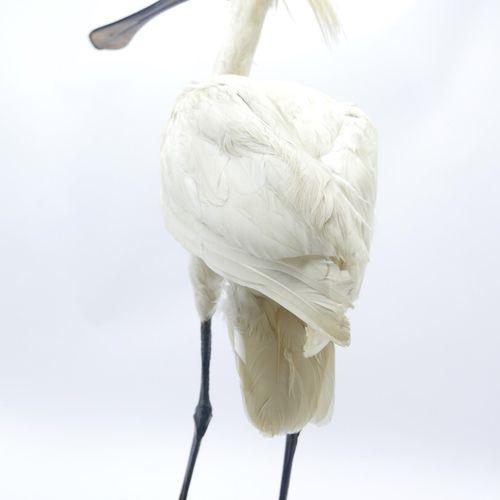 Spatule blanche (Platalea leucorodia) naturalisée, Annexe II/A, spécimen antérie…