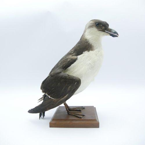 Pingouin torda (Alca torda) naturalisé Spécimen antérieur au 2 avril 1979    D…
