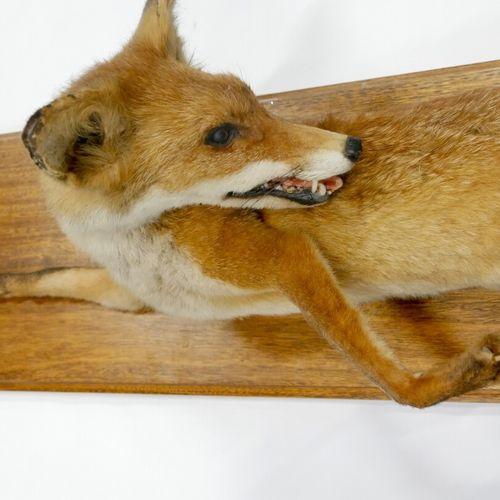 Renard (Vulpes) naturalisé    Dim. : 116 x 33 x 33 cm environ. 45,5 x 13 x 13 in…