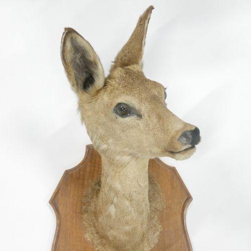 Tête et pieds d'honneur de biche (Bistia) naturalisés    Tête de biche naturalis…