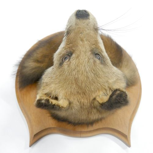 Tête de renard (Vulpes) naturalisée    Dim. : 28 x 27 x 23 cm environ. 11 x 10,5…