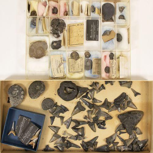 矿物和化石 一小批化石,主要是鲨鱼的牙齿(碎片),大约有90个正常尺寸的碎片,但也有一个较大的(巨齿鲨吗,约7厘米),主要是黑色的化石,大约有。60百万年的历史…