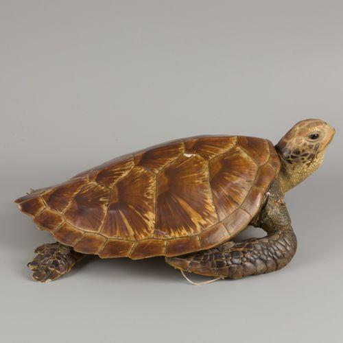 A taxidermia hawksbill sea turtle (Eretmochelys imbricata), 1st half 20th centur…