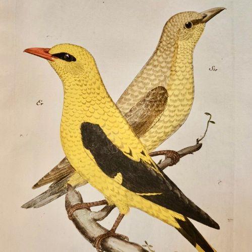"""FRISCH, Johann Leonhard: Vorstellung der Vögel in Deutschland """"One of the most e…"""