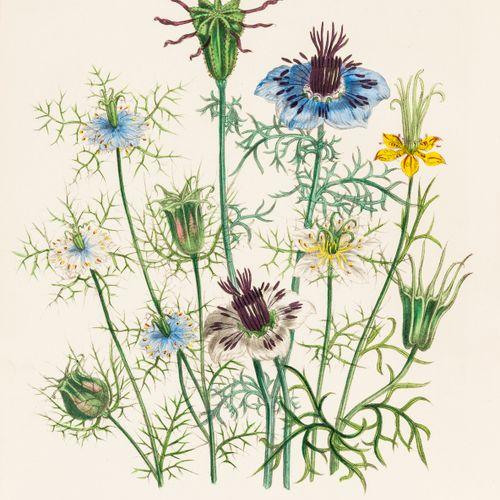 Jane Loudon 植物学。Loudon (Jane) The Ladies' Flower Garden of Ornamental Annuals,第二…
