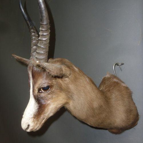 Gazelle springbok (Antidorcas marsupialis) (CH) : tête en cape d'un spécimen en …