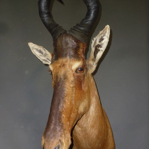 Bubale caama (Alcelaphus caama) (CH) : tête en cape