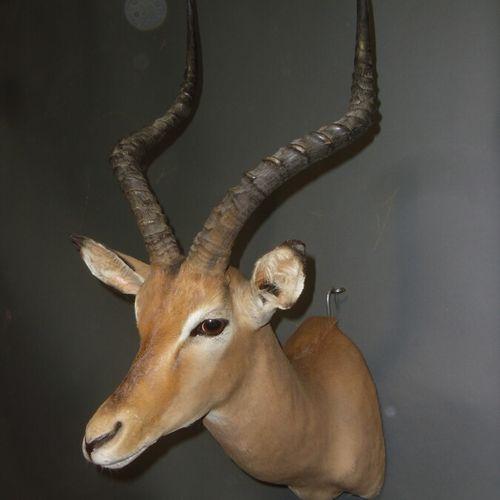 Impala (Aepyceros melampus) (CH) : tête en cape