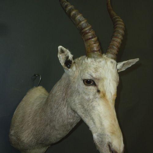 Blesbok (Damaliscus pygargus) (CH) : tête en cape d'un spécimen en phase albiniq…