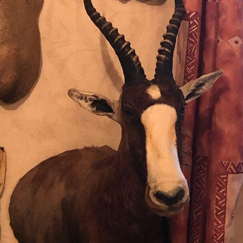Blesbok (Damaliscus pygargus) (CH) : tête en cape présentée en demi buste